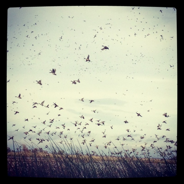 Pintails in flight at the Sacramento National Wildlife Refuge, November 2012
